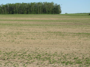 Seedcorn maggot damage in soybeans (H. Bohner, OMAFRA)