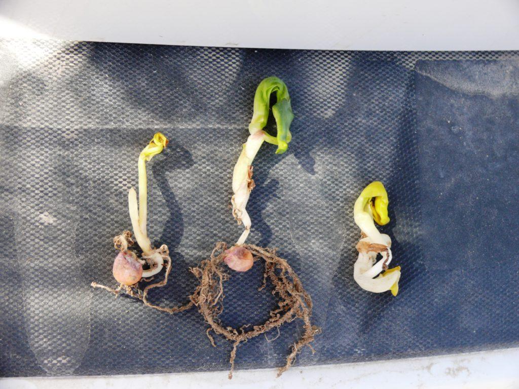 Corn leafing out under ground in Niagara region
