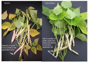 Figure 9. Percent pod colour change of cranberry bean plants. (G. Wilson)
