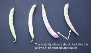 Figure 7. Percent pod colour change of otebo bean plants. (G. Wilson)
