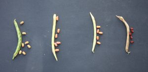 Figure 6. Pod colour and associated seed colour for adzuki beans. Brown pods on the far right contain fully mature seed. (G. Wilson)