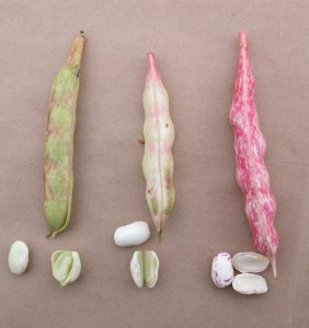 Figure 10. Cranberry bean pod colour and associated bean colour. Dark red speckled pods on the far right contain fully mature seeds
