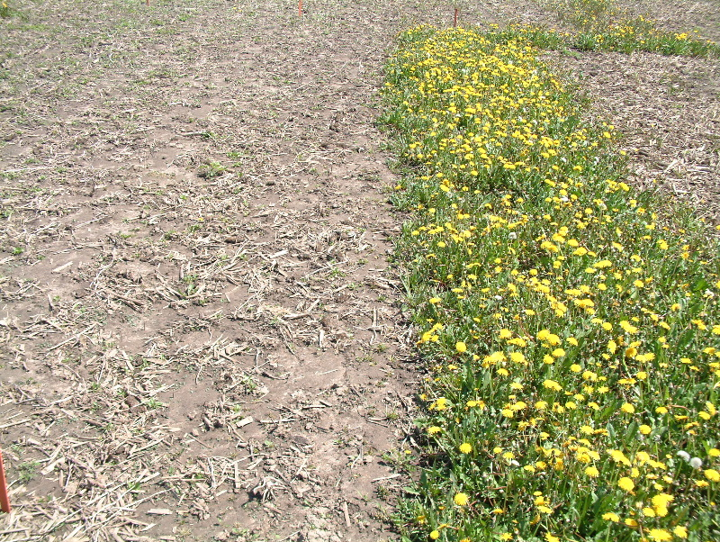 The spring following a fall application of glyphosate (left) compared to no application (right)