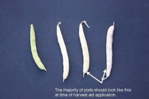 Figure 2. Optimal white bean pod colour timing for application of pre-harvest herbicides. (G. Wilson)