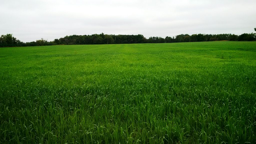 An oat cover crop planted almost eight weeks ago following winter wheat harvest.