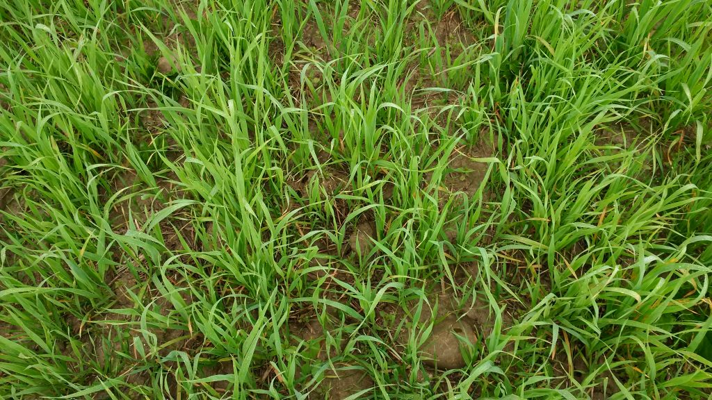 A close-up of the oat cover crop and weed pressure in the first field.