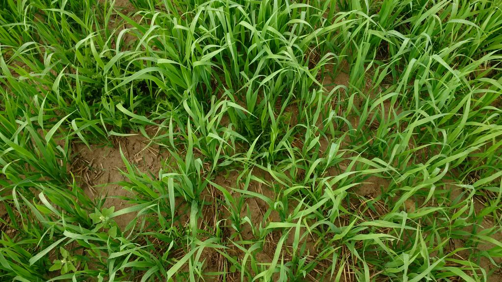 A close-up of the oat cover crop and weed pressure in the second field.