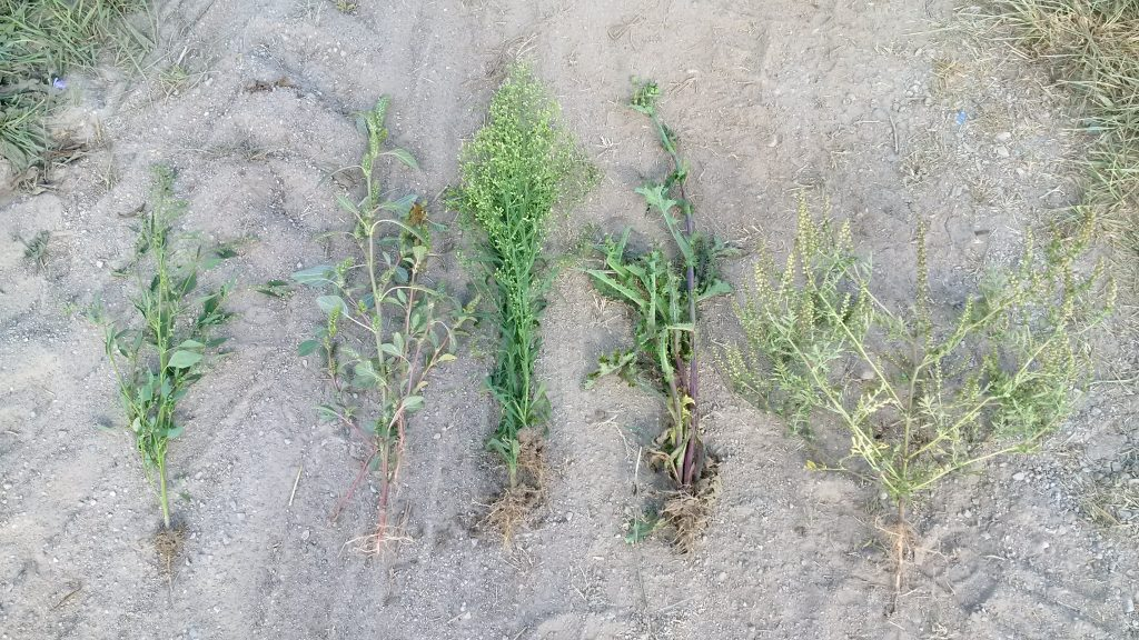 Weeds harvested within 1 square metre of the field left fallow. From left to right: pigweed, lamb's-quarters, Canada fleabane, spiny annual sow-thistle and common ragweed.