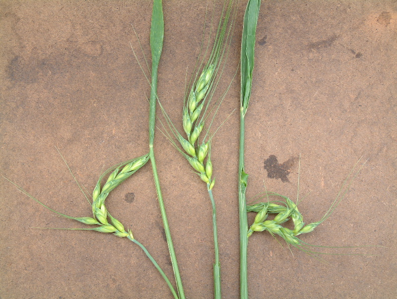 Figure 2. Winter wheat head distortion as a result of fall applied 2,4-D. Source: Dr. P.H. Sikkema, University of Guelph (Ridgetown Campus).