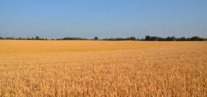 Winter wheat field, Kent County, 2016