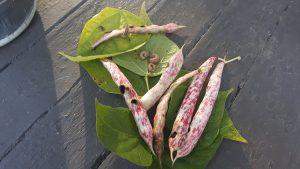Figure 2. Western bean cutworm found in edible beans in Oxford County (Photo credit J. Bruggeman, University of Guelph Ridgetown Campus)