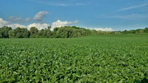 Soybeans in a field with a history of reduced tillage, cover crops, and manure application (2016 season; Brant county)