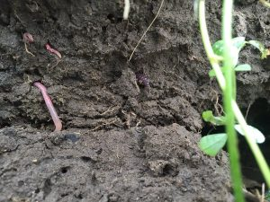Earthworms are an excellent indicator of soil microbial activity. (Photo: Tyler Vollmershausen)