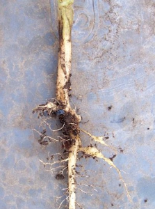 Mild clubroot infection. Photo credit: Manitoba Ministry of Agriculture
