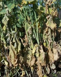 Drought stress caused by clubroot. Photo credit: Canola Council of Canada