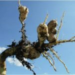 Moderate clubroot infection. Photo credit: Manitoba Ministry of Agriculture