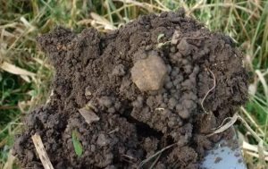 Figure 2. Earthworm casts in a field with cover crops. Earthworms play an important role in nutrient cycling in soil.