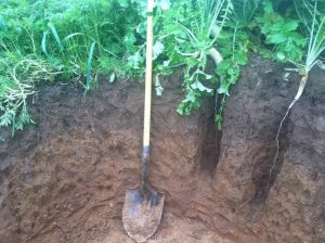 Figure 3. The taproot of forage (tillage) radish can extend deep into the subsoil
