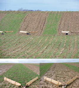 Figure 5. Overwintering cover crops, such as cereal rye, can be very effective in holding soil in place, even under very intense rain. This rye, planted after sweet corn, has held soil on an erodible slope. Photo: Michael Funk, Upper Thames Region Conservation Authority.