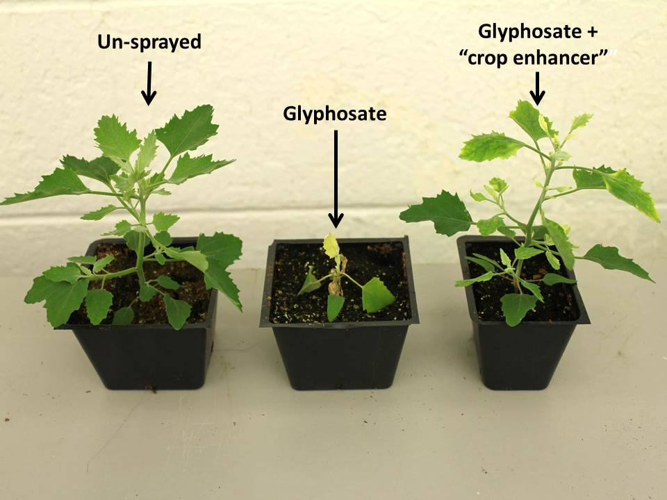 Lamb's-quarter response to glyphosate and glyphosate + a crop enhancer (which contained many divalent cations) compared to an un-sprayed plant.