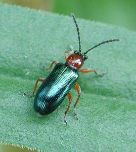 Cereal leaf beetle adult. J. Smith, UGRC