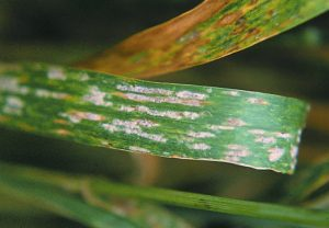 Figure-1_powdery-mildew