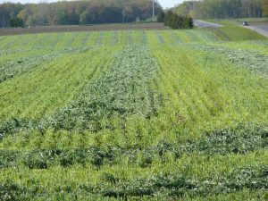 Cereal rye cover crop harvested for forage