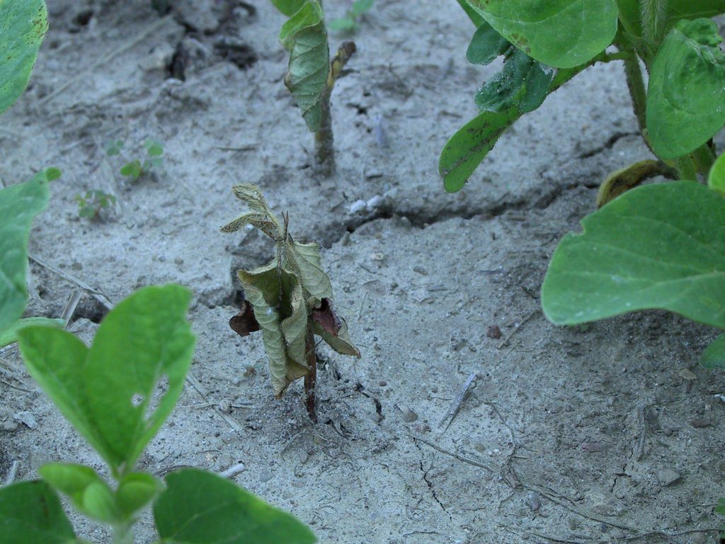 Seedling blight on soybean NEPAC 11 Jun 03
