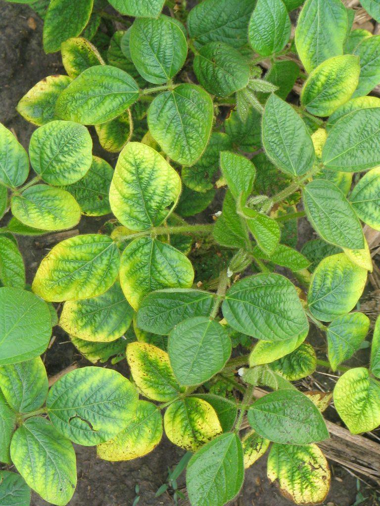 Potassium (K) deficiency in soybeans