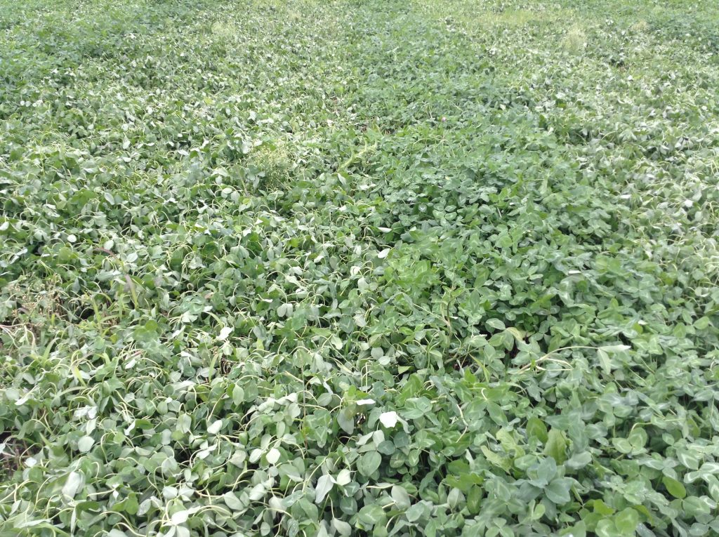Red clover at 7 days after an application of MCPA Ester (left) compared to an un-treated strip. Note the curling of the leaves giving a slightly grey appearance