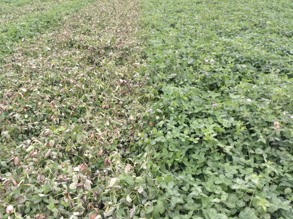 Red clover at 7 days after an application of MCPA Amine (left) compared to an un-treated strip. The amine formulation has consistently provided greater foliar burn then the ester formulation.