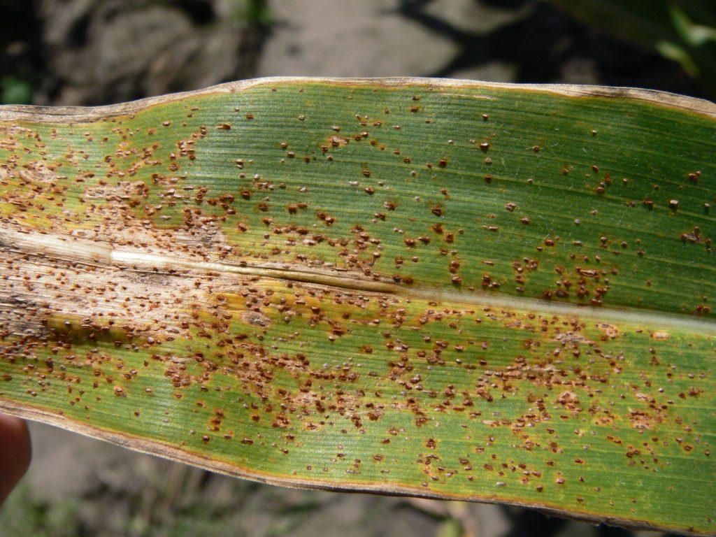 Common Leaf Rust