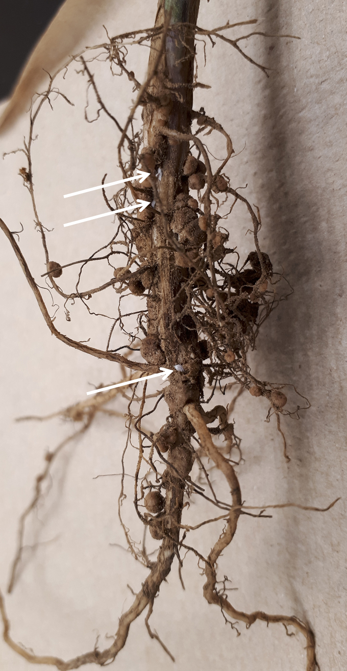 Figure 2: Trochanter mealybugs on a soybean root. (credit: K. Sim)