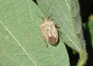 Brown stink bug on soybeans. T. Baute, OMAFRA