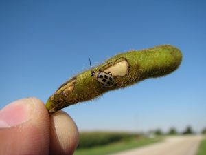 Bean leaf beetle pod damage. Photo credit: H Bohner, OMAFRA