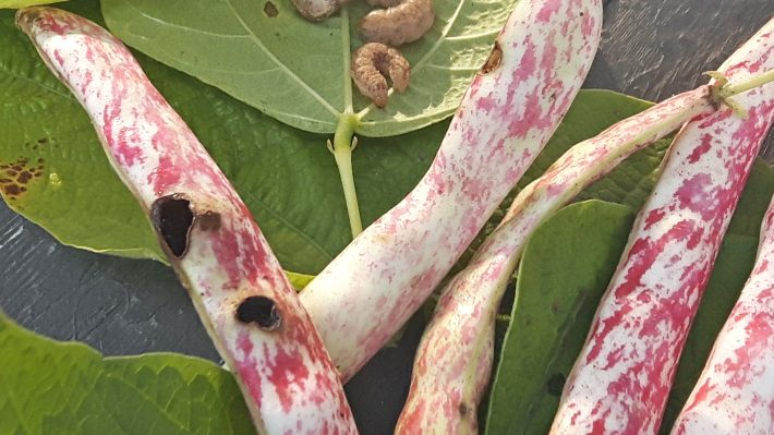 Figure 1: Western Bean Cutworm Pod Feeding