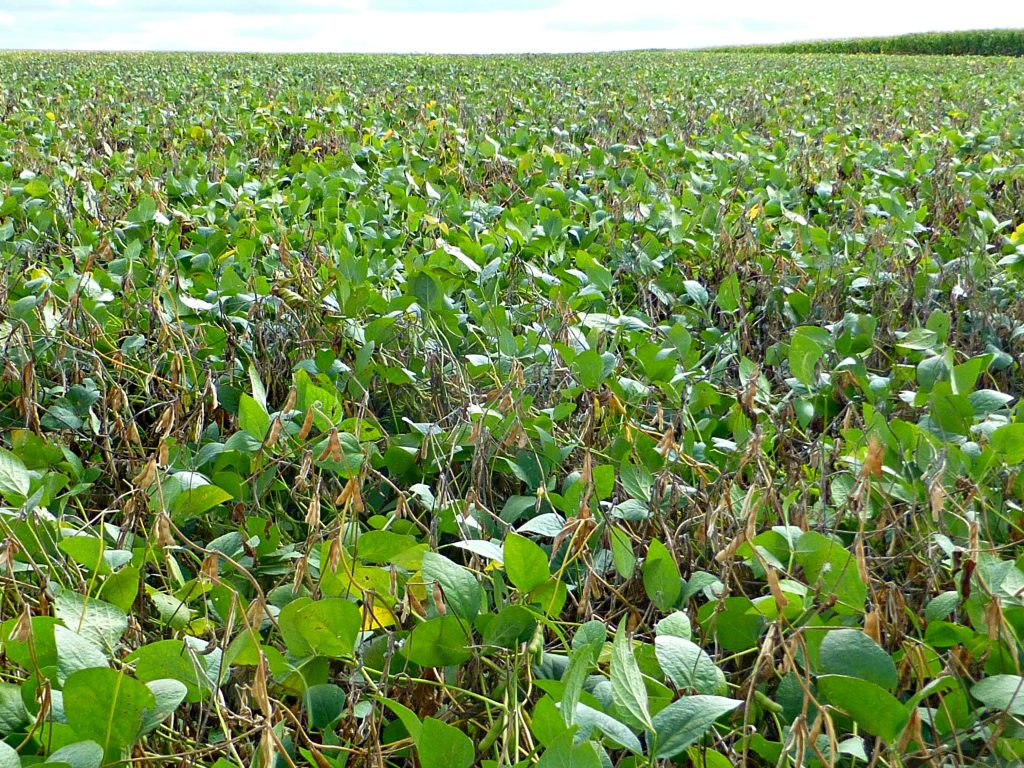 Figure 2. White mould field symptoms (Photo by A. Tenuta, OMAFRA/Crop Protection Network)