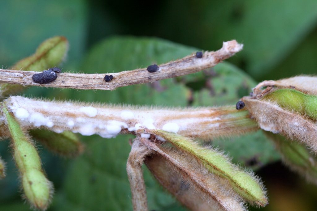 Figure 3. White mould infection on stems and sclerotia (Photo by A. Tenuta, OMAFRA/Crop Protection Network)