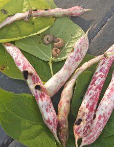 WBC larvae and damage on bean pods. J Bruggeman, UGRC 2016 cropped