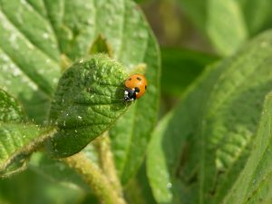 Seven spotted lady beetle feeding on soybean aphids. T. Baute, OMAFRA