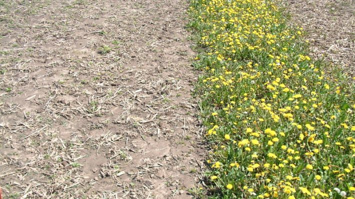 Figure 1. The spring following a fall application of glyphosate (left) compared to no application (right)