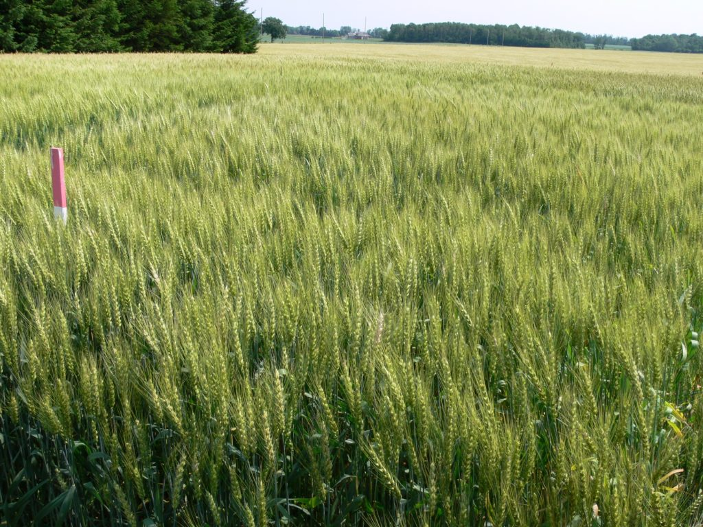 Wheat fields maturing rapidly especially in dry or stressed areas