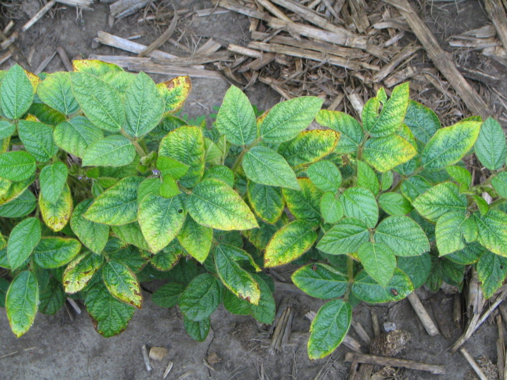 Figure 1. Yellowing in leaves along the leaf margins due to K deficiency