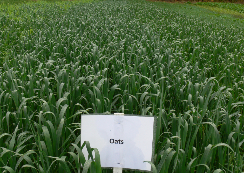 Figure 1: Oats on October 9th that were seeded following spring wheat for forage.