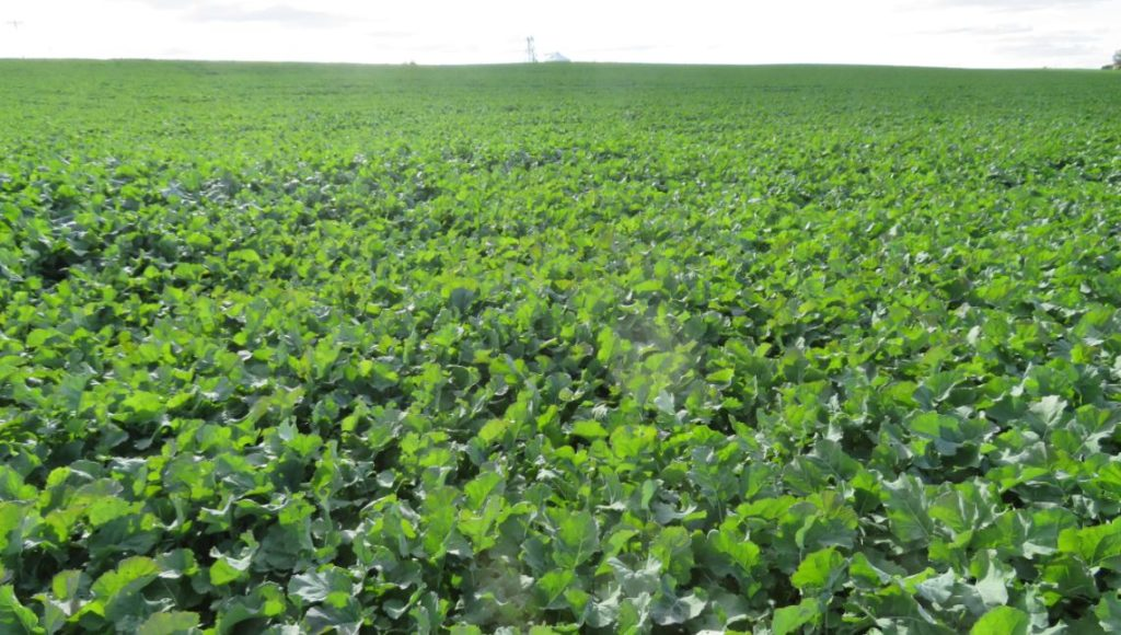 Figure 1: A robust winter canola crop in October 2016.