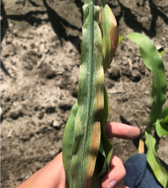 Figure 2. Thrip damage in corn. Photo credit – J. Kobe, Sprucedale Agromart