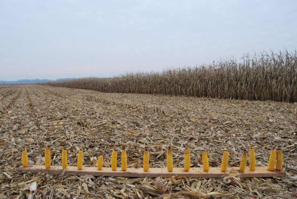 Figure 1. Board displaying corn ear size and plant spacing at harvest time.