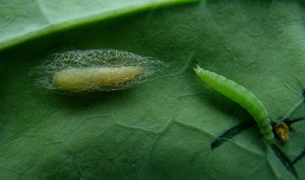 Figure 3. Diamond back moth larvae (credit: www.canolawatch.org)