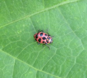 Comparison of the defoliating insect pest bean leaf beetle (left, on netting) and the beneficial pink spotted lady beetle (right, on leaf).