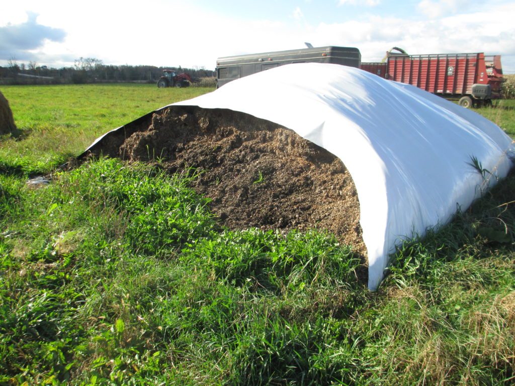 open corn silage in a bag silo